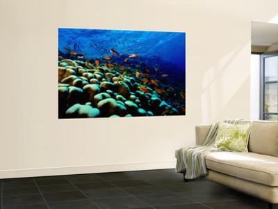 School of Anthias over Brain Coral - Red Sea, Ras Mohammed National Par