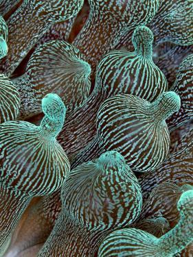 Sea Anemone Detail, Komodo, Indonesia by Mark Webster