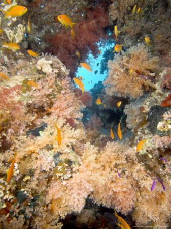 Soft Corals, St. Johns Reef, Red Sea