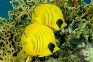 Masked Butterfly Fish (Arotron Diadematus), St Johns Reef, Red Sea, Egypt by Mark Webster Wwwphoteccouk