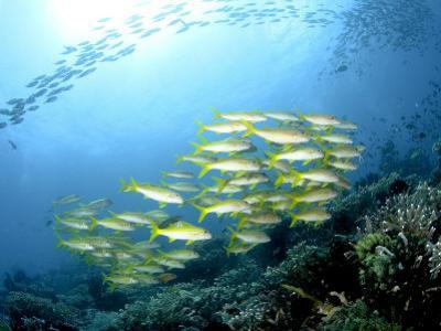 Yellow Snappers, Komodo, Indonesia by Mark Webster