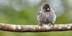 Galapagos, Ecuador, Santa Cruz Island. Galapagos Finch on Branch by Mark Williford