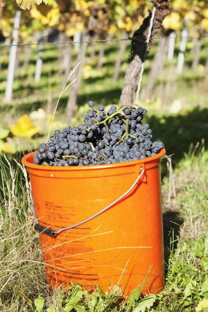 Bucket of Wine Grapes, Grape Harvest, Esslingen, Baden Wurttemberg, Germany
