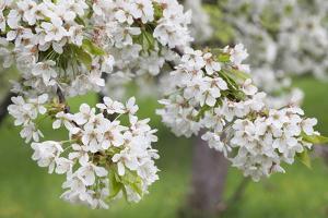 Blossoming Cherry Tree (Prunus Avium), Baden Wurttemberg, Germany, Europe by Markus Lange