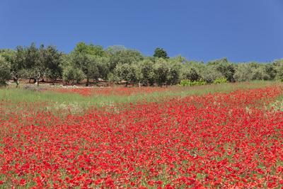 Field of Poppies and Olive Trees, Valle D'Itria, Bari District, Puglia, Italy, Europe