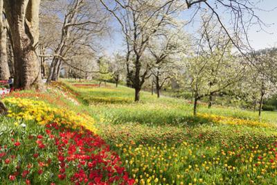 Field of Tulips, Mainau Island in Spring, Lake Constance, Baden-Wurttemberg, Germany, Europe by Markus Lange