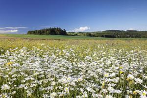 Flower Meadow with Marguerites (Leucanthemum Vulgare), Baden Wurttemberg, Germany, Europe by Markus Lange