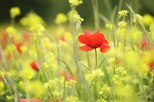 Meadow with Flowers and Poppies, Val D'Orcia, Tuscany, Italy, Europe by Markus Lange