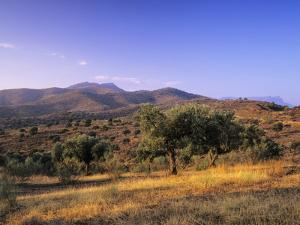 Olive Trees at Sunset, Ardales, Province Malaga, Andalusia, Spain, Europe by Markus Lange