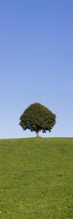 Single Tree on a Hill, Allgau, Swabia, Baden Wurttemberg, Germany, Europe