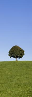 Single Tree on a Hill, Allgau, Swabia, Baden Wurttemberg, Germany, Europe by Markus Lange