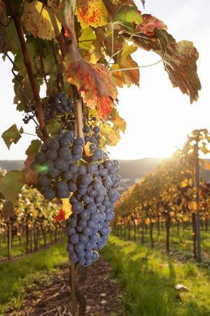 Vineyards with Red Wine Grapes in Autumn at Sunset, Esslingen, Baden Wurttemberg, Germany, Europe
