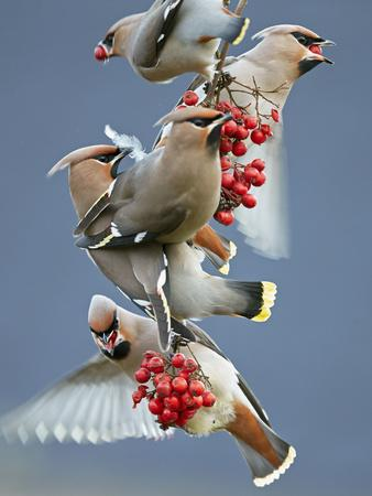 Bohemian Waxwings (Bombycilla Garrulus) Feeding On Berries, Uto Finland October