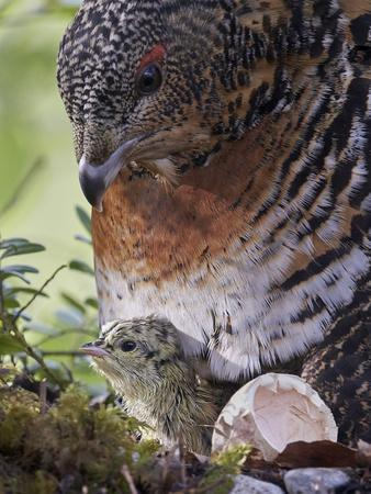 Female Capercaillie (Tetrao Urogallus) with Newly Hatched Chick on Nest, Kuhmo, Finland, June