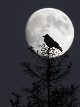 Silhouette of Hooded Crow (Corvus Cornix) Against Full Moon, Helsinki, Finland, December by Markus Varesvuo