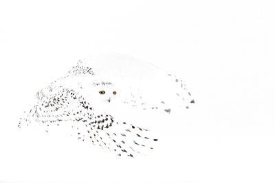 Snowy owl (Bubo scandiaca) female in flight,Canada