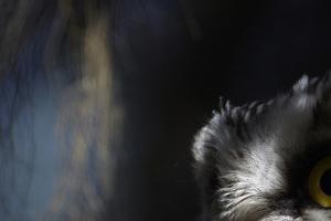 Tengmalm's Owl (Aegolius Funereus) Close-Up of Eye. Kuusamo Finland by Markus Varesvuo