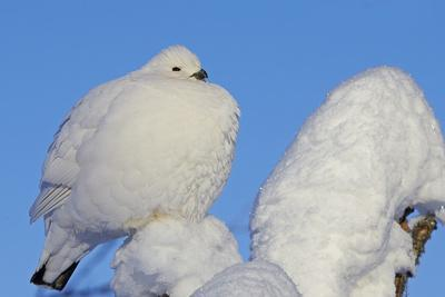Willow Grouse - Ptarmigan (Lagopus Lagopus) Fluffed Up Perched in Snow, Inari, Finland, February