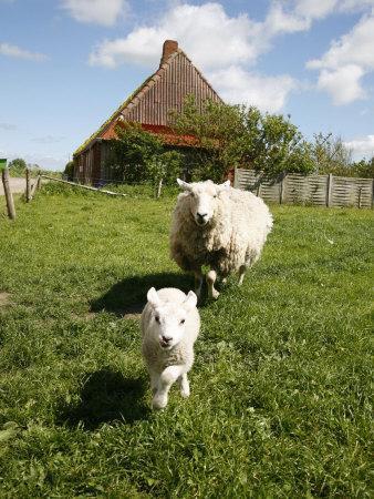 https://imgc.allpostersimages.com/img/posters/marsk-lambs-at-a-farm-in-dalen-jutland-denmark-scandinavia-europe_u-L-P91DE70.jpg?p=0