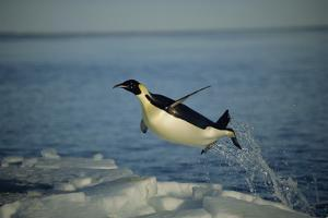 Emperor Penguin Flying Out of Water (Aptenodytes Forsteri) Cape Washington, Antarctica by Martha Holmes