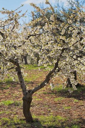 Almond Orchard in Blossom, Puglia, Italy, Europe