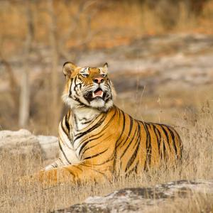 Male Tiger in Bandhavgarh National Park, India, Asia by Martin Chapman