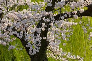 Beautiful Cherry Blossom and Willow in Ueno Park, Tokyo, Japan, Asia by Martin Child