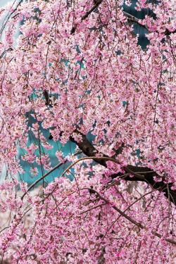 Beautiful Cherry Blossom in Full Bloom in Tokyo Imperial Palace East Gardens, Tokyo, Japan, Asia by Martin Child