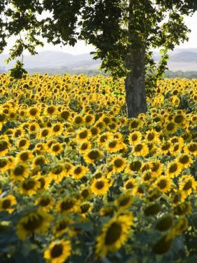 Field of Sunflowers in Full Bloom, Languedoc, France, Europe by Martin Child