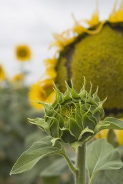 Sunflower About to Flower, Tuscany, Italy by Martin Child