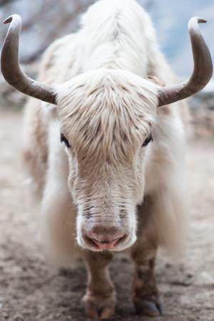 A white yak (Bos grunniens or Bos mutus) in Nepal. by Martin Edstrom