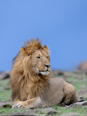 Lion at Rest Full Bleed by Martin Fowkes