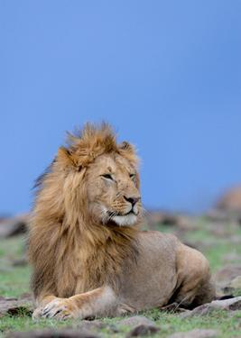 Lion at Rest by Martin Fowkes
