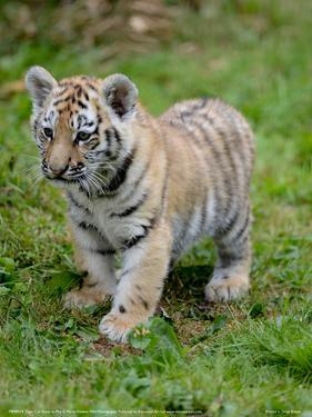 Tiger Cub Ready to Play Full Bleed by Martin Fowkes