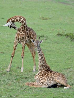 Two Giraffe Calves Full Bleed by Martin Fowkes