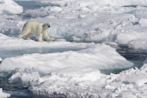 Polar Bear (Ursus maritimus) adult, walking on melting icefloe, Baffin Bay, North Atlantic Ocean by Martin Hale