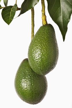 Avocados Hanging from Tree by Martin Harvey