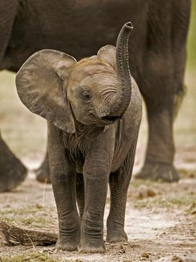 Baby Elephant by Martin Harvey