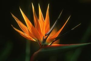 Bird of Paradise Flower by Martin Harvey