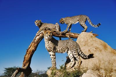 Cheetahs by Martin Harvey