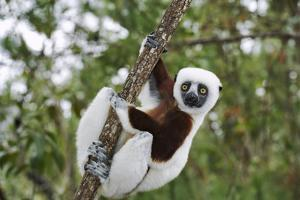 Coquerel's Sifaka by Martin Harvey