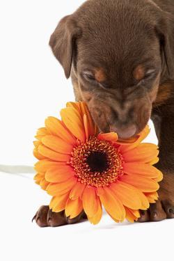 Doberman Pincher Puppy Biting Gerbera Daisy by Martin Harvey