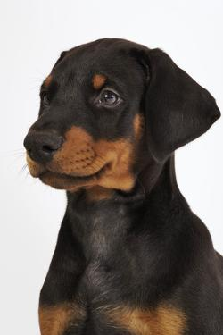 Doberman Pinscher Puppy by Martin Harvey