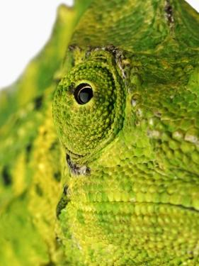 Eyes of a Meller's Chameleon by Martin Harvey