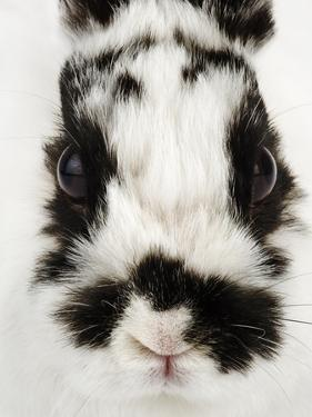 Face of Jersey Wooly Rabbit by Martin Harvey