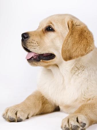 Golden Labrador Retriever Puppy by Martin Harvey
