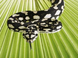 Jungle Carpet Python by Martin Harvey