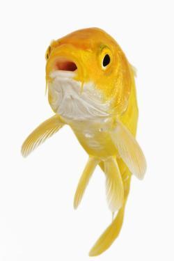 Koi Fish by Martin Harvey