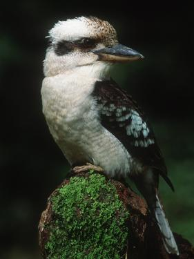 Laughing Kookaburra Perched on Log by Martin Harvey