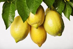Lemons Hanging from Tree by Martin Harvey